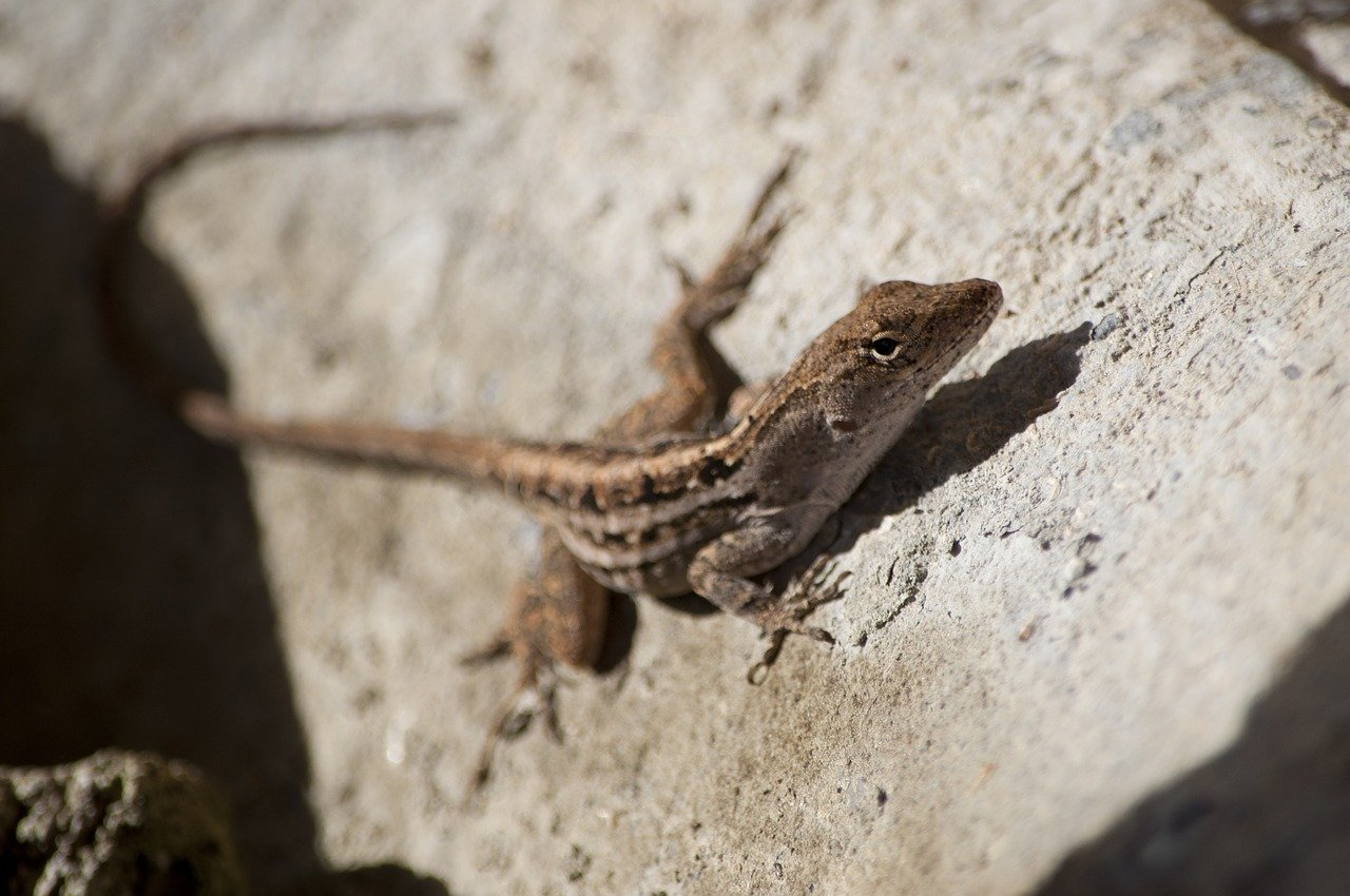 Florida Lizards on Anna Maria Island Florida