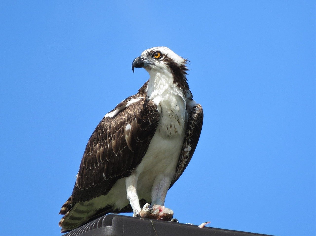 Florida Birds of Prey the Osprey found on Anna Maria Island, Florida